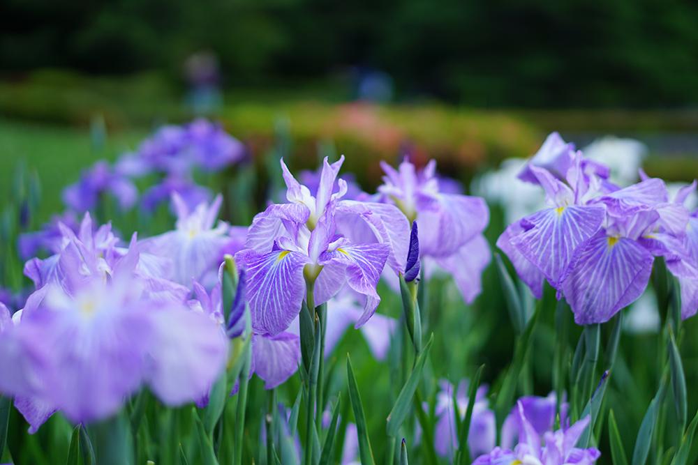 東御苑の花菖蒲